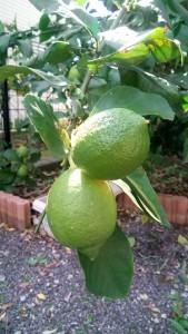 檸檬2IMG_20201024_121922 (2)